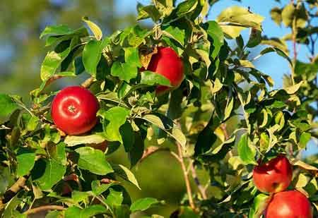 Cómo y cuándo podar un manzano