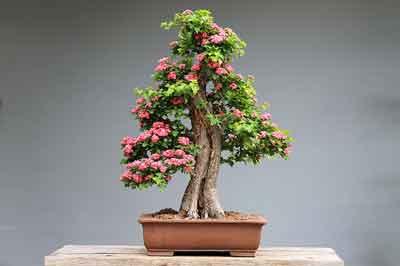 como y cuando podar un bonsai