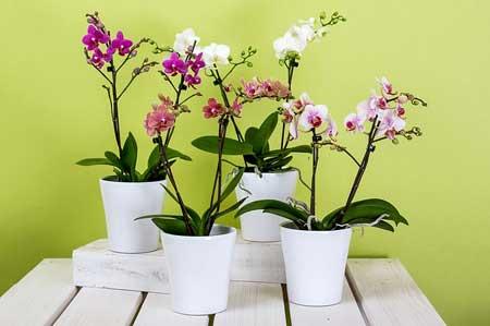 Cómo y cuándo podar orquídeas