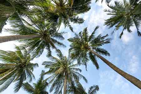 Cómo podar palmeras, cuándo hacerlo