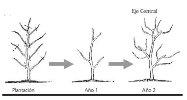 Poda de formación de manzano