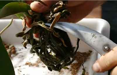 Poda de raíces en una orquídea