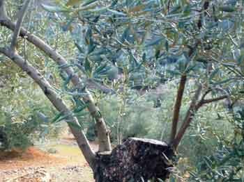 Poda del rejuvenecimiento del olivo tipo afrailado