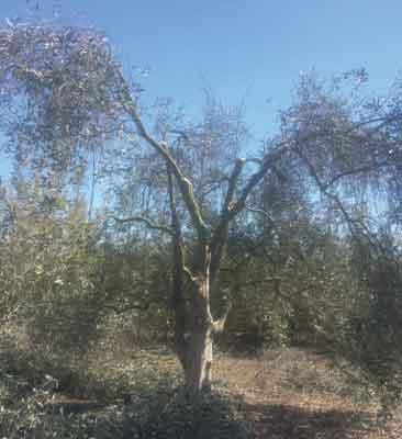 Poda de producción olivo