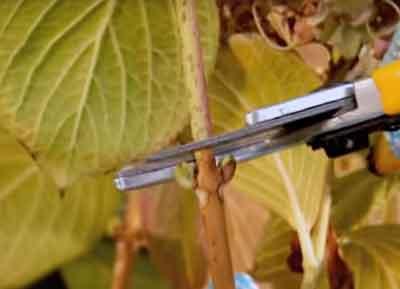 Poda de ramas de tres años en hortensias