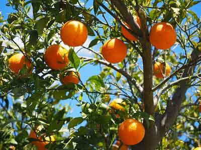Poda del naranjo, ¿cómo y cuándo hacerla?