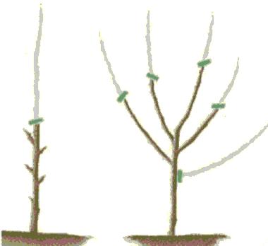 Poda de formación del naranjo