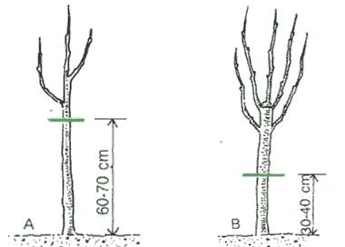 Poda de formación de avellano - eje único
