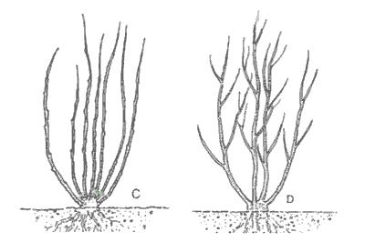 Poda de formación de avellano tipo arbusto
