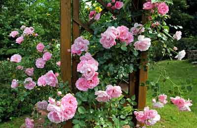 Cómo podar rosas y cuando hacerlo
