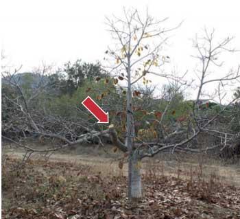 Fig 4: Eliminación de rama lateral al podar un nogal