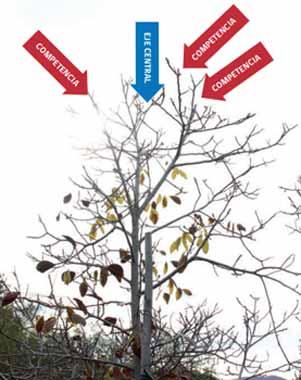 Fig 5: Ramas laterales que compiten con el eje central e impiden su crecimiento.