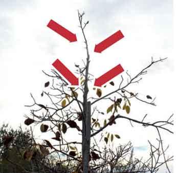 Fig 6: Eliminación de ramas laterales cercanas al ápice del eje central, para favorecer crecimiento en altura.