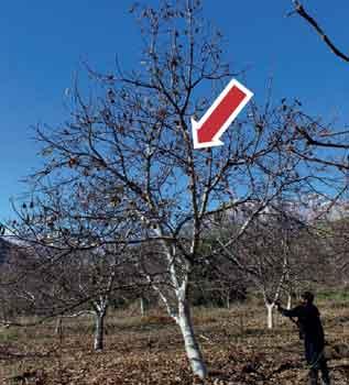 Fig 8: Eliminación de rama central que genera exceso de sombra en la parte interna de la planta adulta, sin eje central.