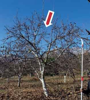 Fig 9: Planta adulta de nogal posterior a la poda, se aprecia la zona media libre de ramas, lo que favorece el ingreso de la luz.