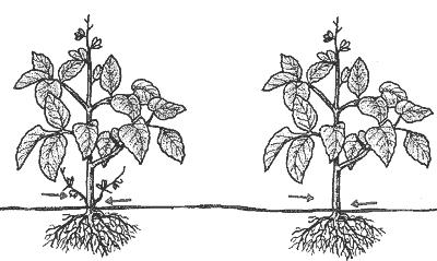 Podar pepinos - poda de chupones