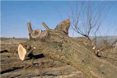 Rebaje de ramas principales - Poda de rejuvenecimento