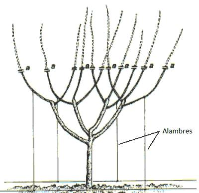 Formación de cerezo en vaso español