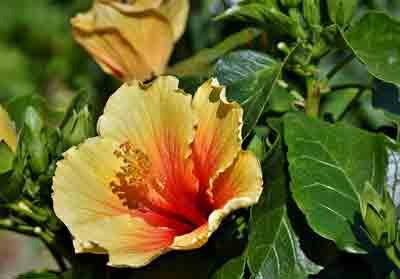 Cómo podar hibiscus